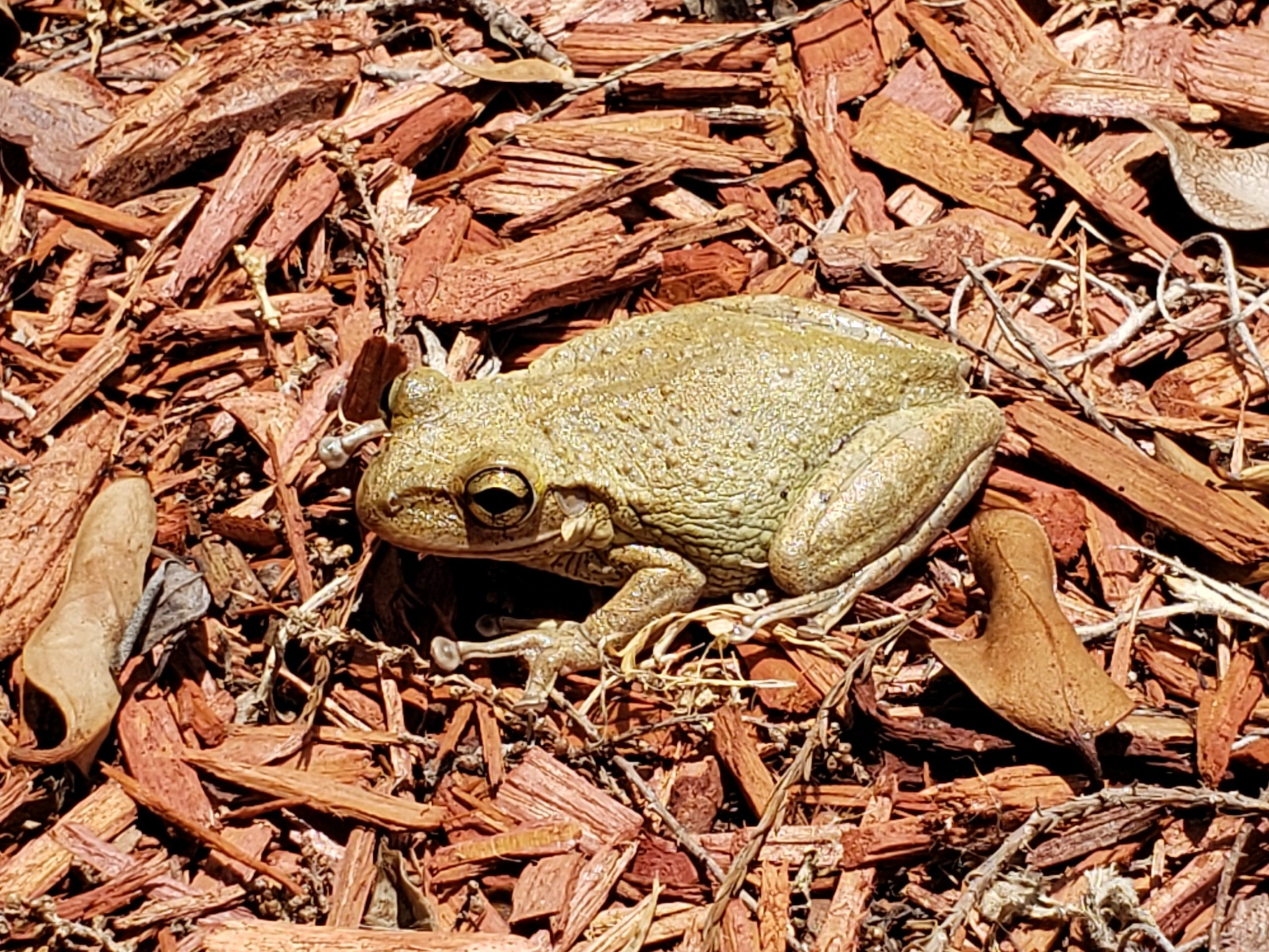 Cuban Tree Frogs